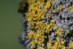 Liquen/parietina amarillos comunes de Xanthoria que crece en la corteza de un árbol Foco bajo fotografía de archivo