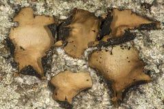 Liquen umbilicado en roca en la montaña del caso en Manchester, Connec imagen de archivo