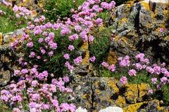 Liquen y flores salvajes en una pared costera de la roca Imagenes de archivo