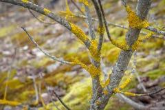 Liquenes amarillos brillantes en un tronco de árbol gris fotografía de archivo libre de regalías