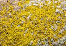 Liquenes amarillos en el primer de piedra Foto de archivo libre de regalías