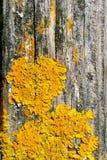Liquenes amarillos en la madera Fotos de archivo libres de regalías