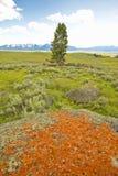 Liquenes anaranjados antiguos que crecen en rocas en valle centenario cerca de Lakeview, TA Fotografía de archivo