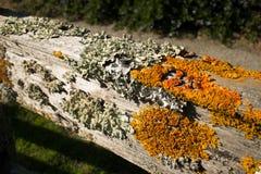 Liquenes coloridos gruesos en la cerca de madera vieja, con el carril superior horizontal Imágenes de archivo libres de regalías