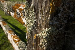 Liquenes coloridos gruesos en la cerca de madera vieja, con los posts en primero plano Foto de archivo