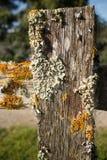Liquenes coloridos gruesos en la cerca de madera vieja Post, con el carril superior llevando apagado para echar a un lado Fotografía de archivo