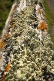 Liquenes coloridos gruesos en la cerca de madera vieja Post, con los posts superiores llevando lejos de primero plano Fotos de archivo