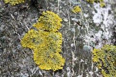 Liquenes en la corteza de un árbol Imagen de archivo