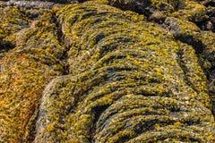 Liquenes en la lava fría ondulada fotos de archivo libres de regalías