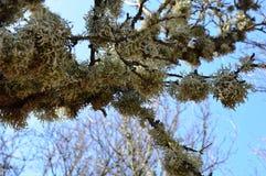 Liquenes en los árboles fotos de archivo libres de regalías