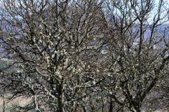 Liquenes en los árboles imagenes de archivo