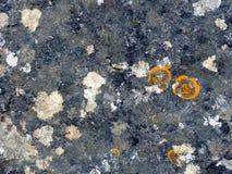 Liquenes redondos anaranjados en una piedra gris oscuro Foto de archivo libre de regalías