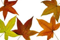 Liquid Amber Tree Fall Leaves Backlit Royalty Free Stock Image