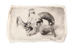 Liquid emulsion photographic print of rams skull Stock Photography