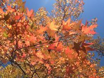 Liquidambar δέντρο Styraciflua με τα ζωηρόχρωμους φύλλα και τους σπόρους το φθινόπωρο Στοκ φωτογραφία με δικαίωμα ελεύθερης χρήσης