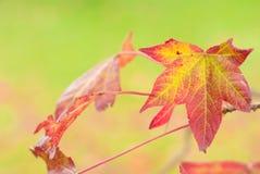 Liquidambar. Beautiful autumn leaf of sweetgum Royalty Free Stock Photography