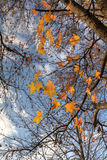 Liquidambar autumn leaves Royalty Free Stock Photo