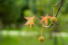Liquidambar background. Beautiful seeds of sweetgum tree Royalty Free Stock Photography