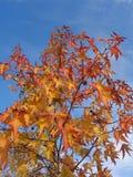 Liquidambar con il fogliame variopinto di autunno Fotografie Stock Libere da Diritti