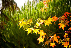 Liquidambar leaves in fall. Beautiful autumn leaf of sweetgum Stock Photo