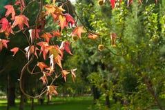 Liquidambar leaves over green. Beautiful autumn leaf of sweetgum Royalty Free Stock Photo