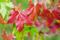 Liquidambar leaves, red and green Royalty Free Stock Photo