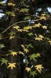 Liquidambar oak Stock Image