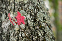 Liquidambar red leaf. Beautiful autumn leaf of sweetgum Stock Image