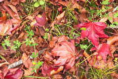 Liquidambar red leaves. Beautiful autumn leaves of sweetgum in the grass Royalty Free Stock Photos