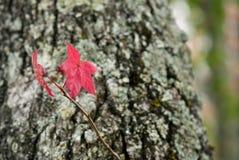 Liquidambar rood blad Stock Afbeelding