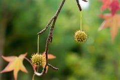 Liquidambar seed. Beautiful seeds of sweetgum tree Stock Photo