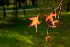 Liquidambar seeds over green Royalty Free Stock Photography