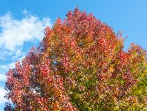 American sweetgum, in fall season with Its red, orange and yellow leaves. Liquidambar styraciflua, commonly called American sweetgum, in fall season with Its red Stock Photos
