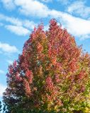 American sweetgum, in fall season with Its red, orange and yellow leaves. Liquidambar styraciflua, commonly called American sweetgum, in fall season with Its red Royalty Free Stock Photography