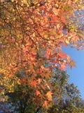 Liquidambar Styraciflua drzewo z Kolorowymi liśćmi i ziarnami w spadku Fotografia Stock