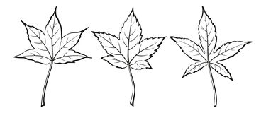 Liquidambar Styraciflua Leaves. Set of Plant Pictograms, Liquidambar Styraciflua Tree Leaves, Black on White. Vector Royalty Free Stock Photography
