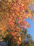 Liquidambar Styraciflua Tree with Colorful Leaves and Seeds in the Fall. Stock Photography