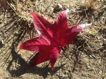 Liquidambar Styraciflua Tree Leaf on the Ground in the Fall. Royalty Free Stock Photography