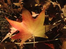 Liquidambar Styraciflua Tree Leaf on the Ground in the Fall. Royalty Free Stock Photos