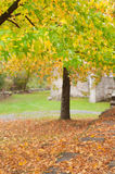 Liquidambar trees in autumn, with yellow and green leaves Stock Photo