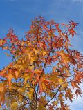 Liquidambar with colorful autumn foliage. Liquidambar young tree with yellow and red autumn leaves against blue sky Royalty Free Stock Photos