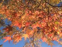 LiquidambarStyraciflua träd med färgrika sidor och frö i nedgången Arkivbild