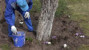 Liquido della calce della miscela dell'uomo dell'agricoltore in secchio blu vicino all'albero da frutto della mela stock footage