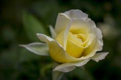 Liquirizia bianca Rosa Fotografie Stock