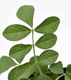 Liquorice φύλλα φρέσκα Στοκ Εικόνες