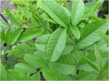 Liquorice, Glycyrrhiza glabra