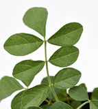 Liquorice Leaves Fresh Stock Photo