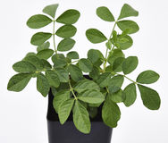 Liquorice Plant and Leaves Fresh Stock Photos