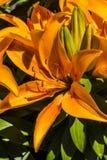 Lirio Foto de archivo libre de regalías