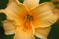 Lirio amarillo Fotografía de archivo libre de regalías